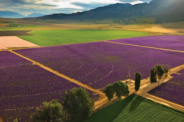 Lavender at the Young Living Farm